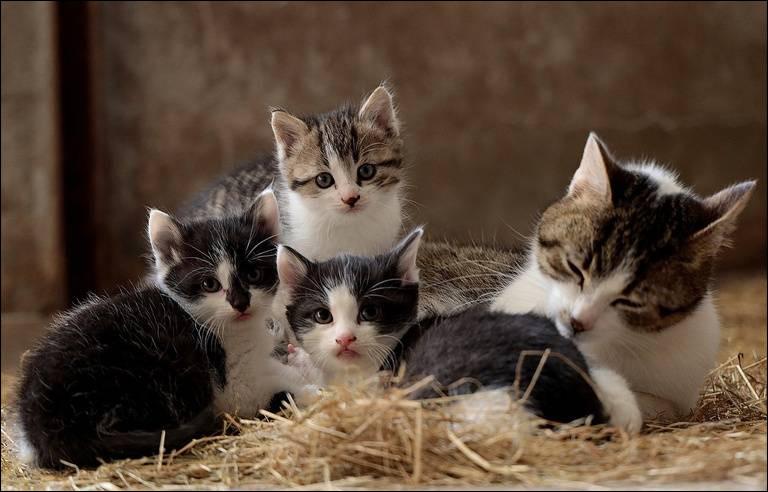 Lequel de ces mots ne désigne pas une race de chat ?