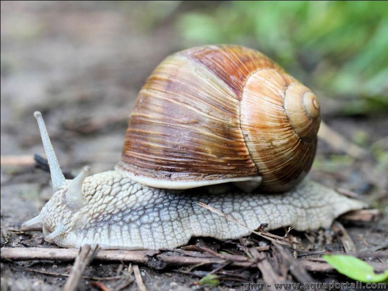 Ces escargots sont protégés du 1 avril au 30 juin depuis 1979 pour permettre leur reproduction. Qui sont-ils ?