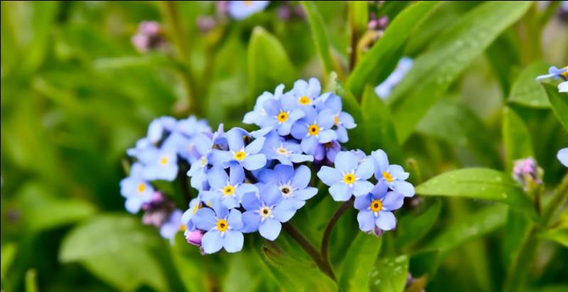 Selon la légende, un amant serait allé chercher ces fleurs au milieu d'un marécage pour sa dame et avant de mourir en s'embourbant dedans, il lui aurait dit «ne m'oublie pas». Cette fleur est donc surnommée ainsi.