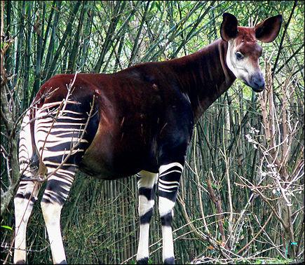 Où vit l'okapi ?