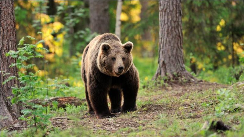 Ca y est, vous voyez l'ours : vous faites des mouvements brusques pour l'effrayer et le faire partir ...