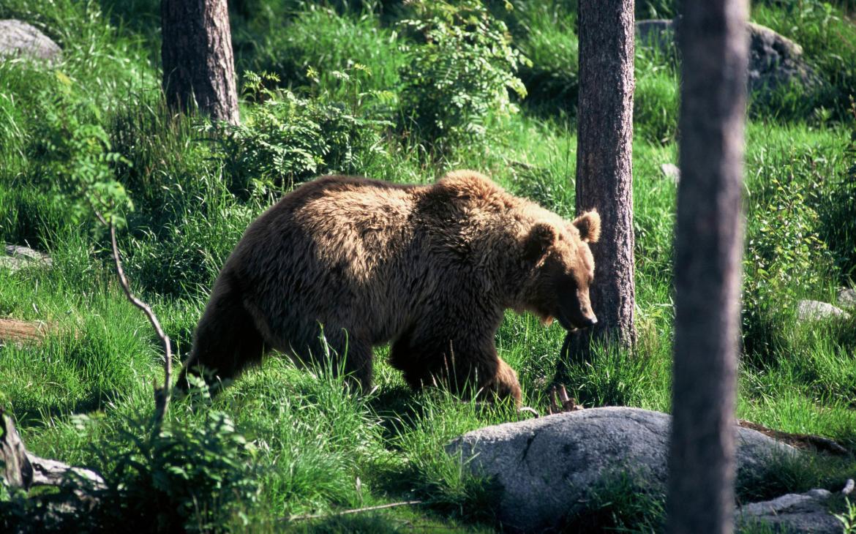 Saurez-vous quoi faire si vous rencontrez un ours ?