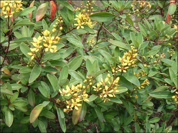 """Les """"Malpighiacées"""" forment une famille de plantes (plus de 1 200 espèces). Ceci étant dit, d'où leur provient ce nom assez malaisé à retenir ?"""