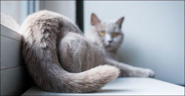 Pourquoi le chat bat-il de la queue ?