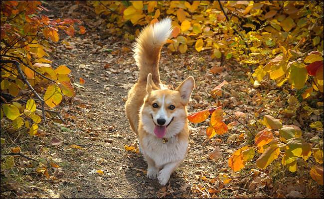 Et le chien, pourquoi remue-t-il la queue contrairement au chat ?