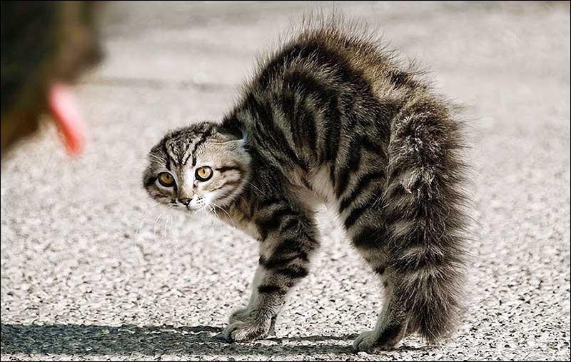 Quel bruit fait le chat lorsqu'il est énervé ?