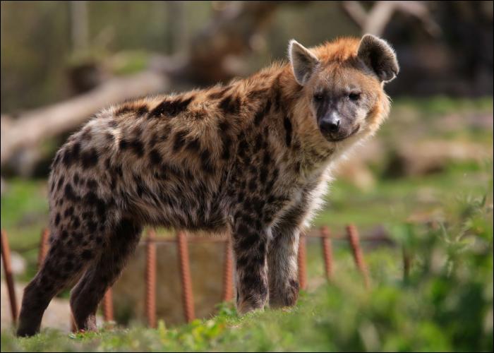 La hyène fait partie des...