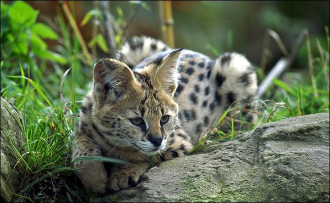 Quant au serval, on le retrouve chez les...