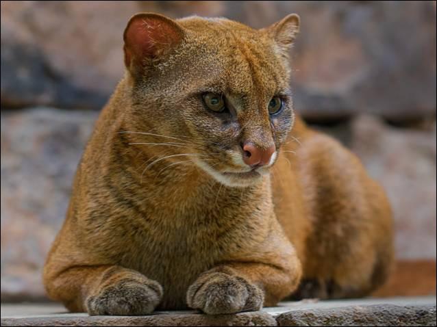 Savez-vous si le jaguarondi est un félin ou un canidé ?