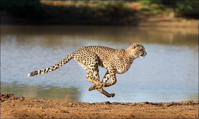 Vous trouverez sûrement la famille du guépard alors !