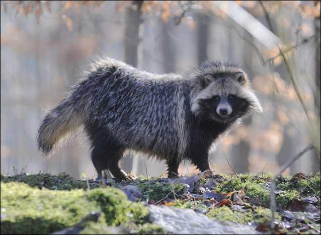 Ce mammifère ressemble à un raton laveur mais c'est bien un...