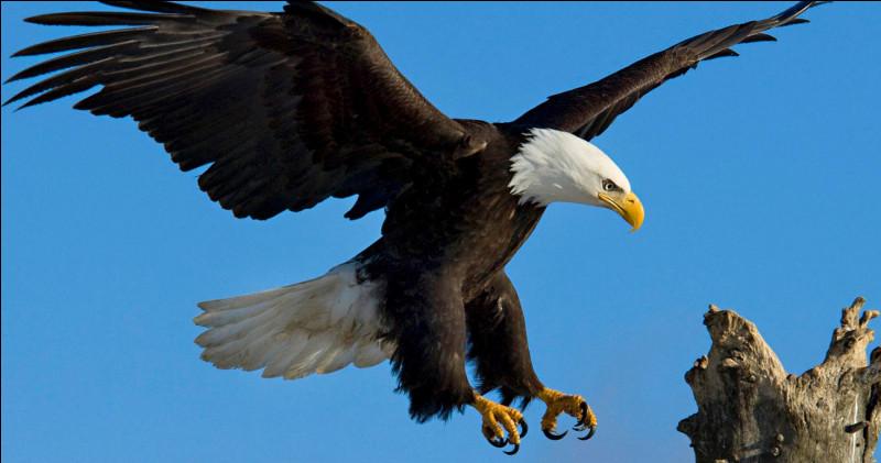 De quelle couleur est le plumage du bébé aigle royal ?