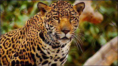J ~ Jaguar : ce félin vous fait-il penser à une marque ?