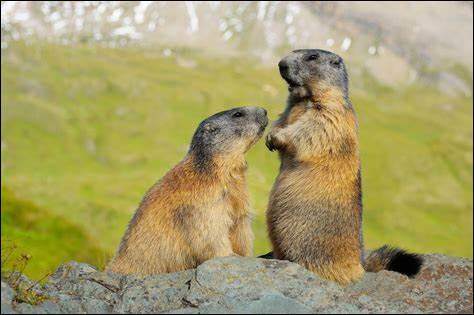 M ~ Marmotte : quel est son temps de gestation ?