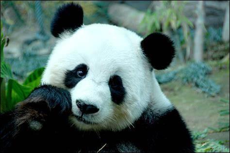 P ~ Panda : quel est le nom scientifique du panda géant ?