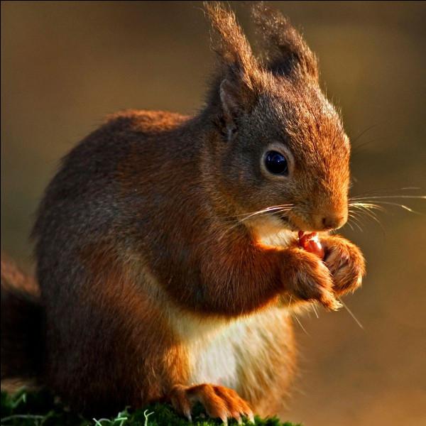E ~ Écureuil : sa fourrure est-elle rousse, grise ou les deux ?
