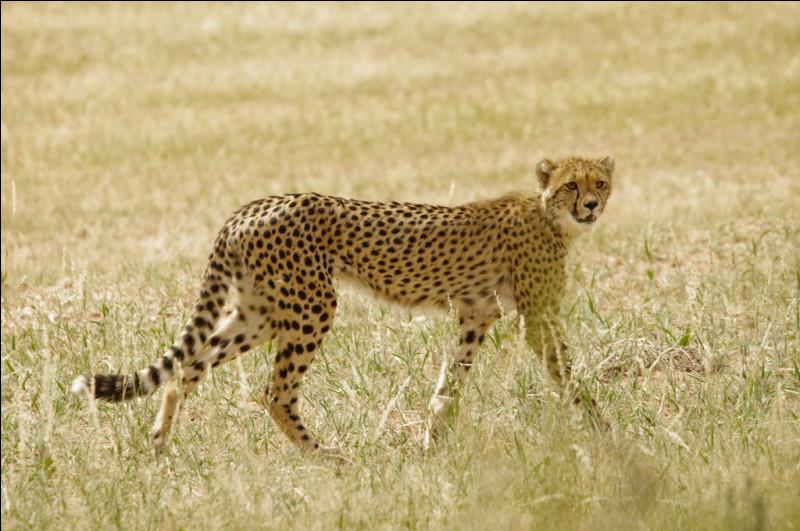 G ~ Guépard : ce félin court très vite. Quand il court, il peut atteindre la vitesse de ... km/h !