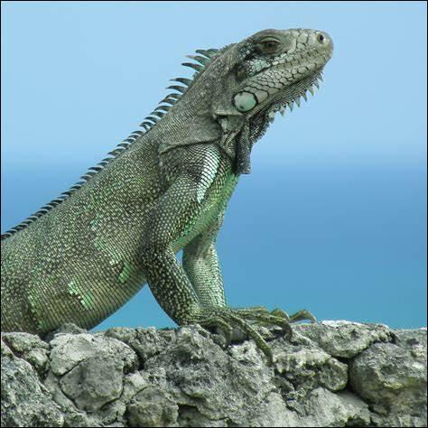 I ~ Iguane : quelle taille maximale l'iguane peut-il atteindre ?