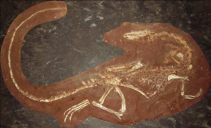 Deux des squelettes découverts par Edwin Colbert donnaient l'impression que cette espèce de dinosaure était cannibale car :