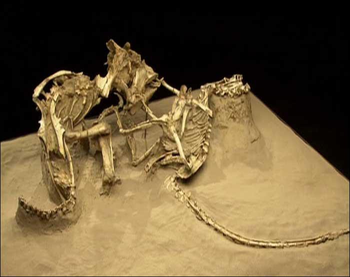 En 1971 elle découvre l'un des plus incroyables fossiles découverts. La lutte à mort de 2 dinosaures :