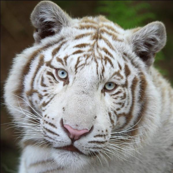 Le tigre est-il un canidé ou un félin ?