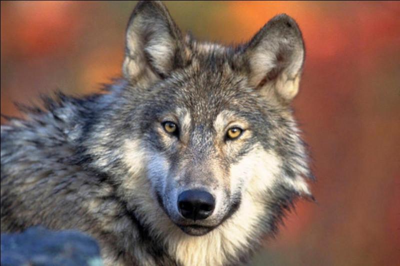 Et le loup, est-ce un canidé ou bien un félidé, aussi appelé félin ?