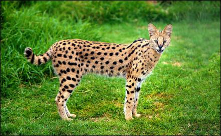 Cette race de chats appelée Savannah, son ancêtre étant le serval, dans quelle catégorie se classe-t-elle ?
