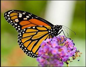 """Tous les individus de l'ordre des Lepidoptera ont un corps divisé en trois parties (tête, thorax et abdomen). """"Avoir le corps divisé en trois parties"""" est donc un caractère commun à tous les individus de l'espèce. On appelle ça :"""