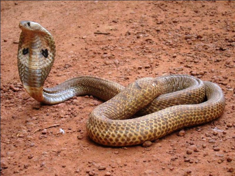 Quel est ce genre de serpent venimeux dont le venin neurotoxique provoque la paralysie ?