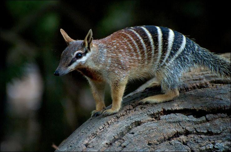 Quel est ce petit marsupial endémique de l'Australie au corps zébré qui se nourrit essentiellement de fourmis et de termites ?