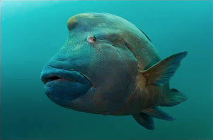 Quel est ce gros poisson osseux marin au corps massif et comprimé avec une bosse sur le front ?