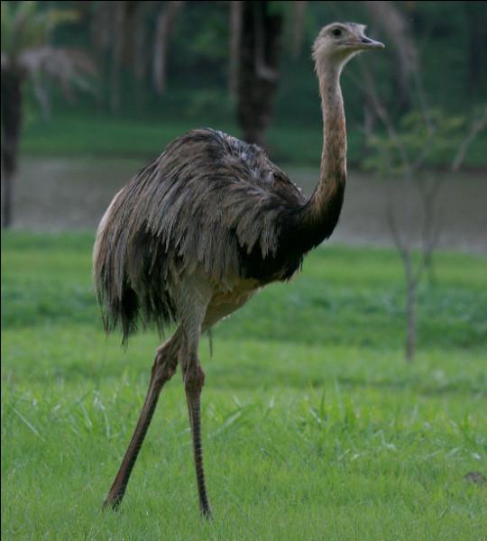 Quel est ce grand oiseau coureur d'Amérique, inapte au vol, cousin de l'autruche ?
