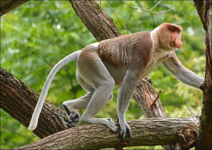 Quel est ce singe arboricole endémique de l'île de Bornéo qui a un appendice nasal mou et plat auquel il doit son nom ?