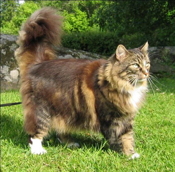 Quelle est cette race de chat originaire de Scandinavie au corps long et puissant avec des poils mi-longs ?