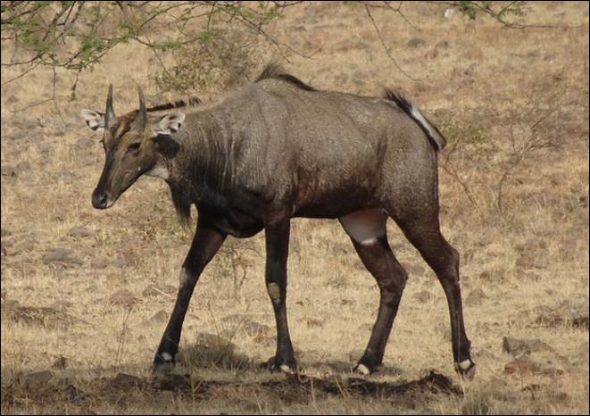 Quel est ce bovidé d'Inde, une antilope farouche at rapide pouvant atteindre 75 km/h ?
