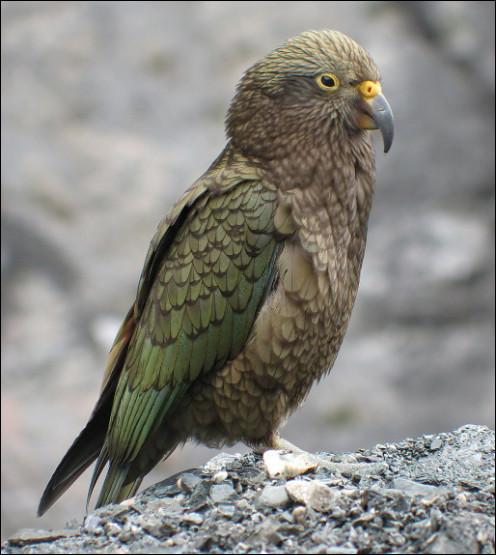 Quel est cet oiseau, le seul perroquet montagnard au monde avec un plumage olivâtre, endémique de la Nouvelle-Zélande ?