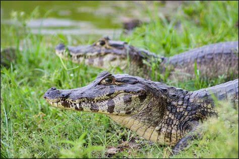 Le caïman est en fait un alligator du Sud.