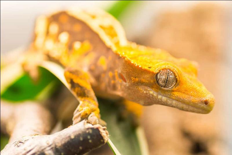 Les geckos peuvent marcher sur des murs.