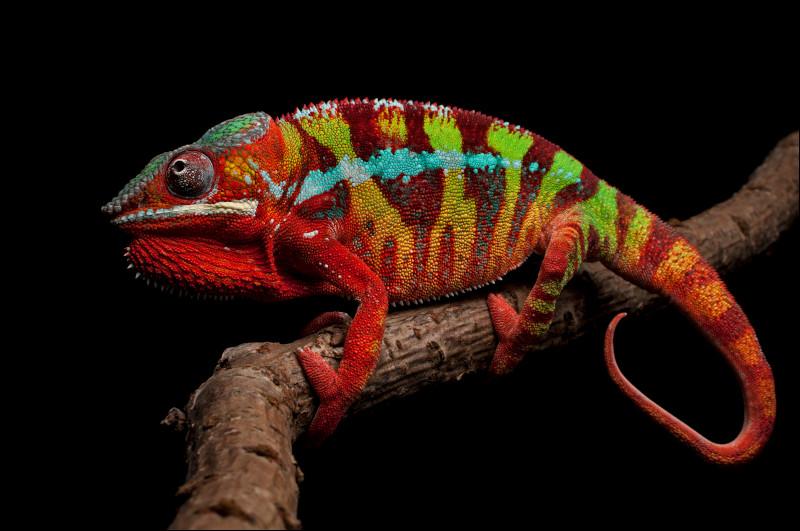 Quand un caméléon touche quelque chose de rouge, il devient rouge.