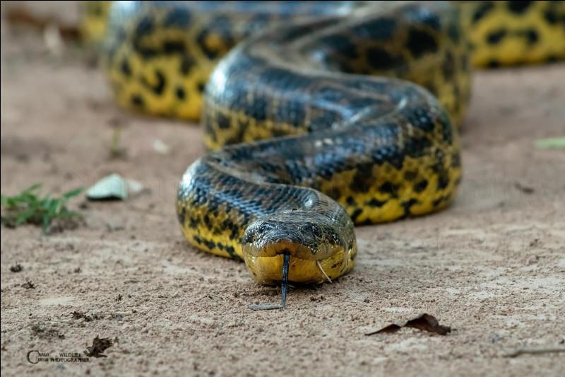 Le venin de l'anaconda est mortel pour l'homme.