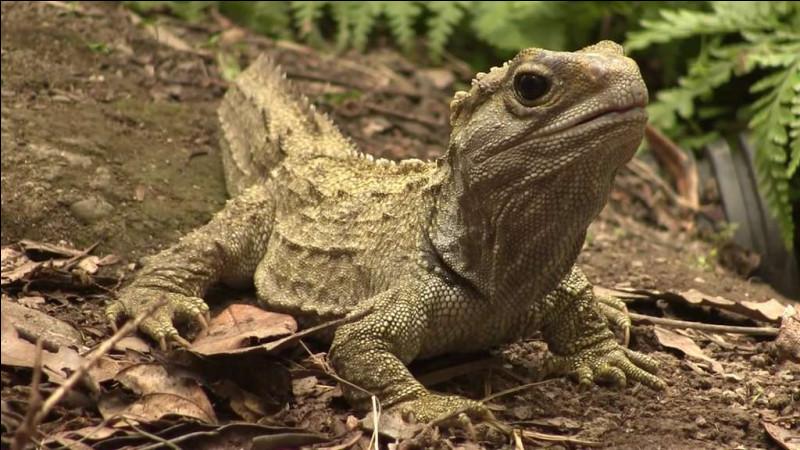 Cette espèce fait partie de la famille des lézards.