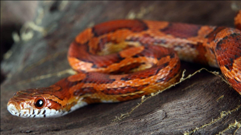Les serpents sont tous des reptiles.