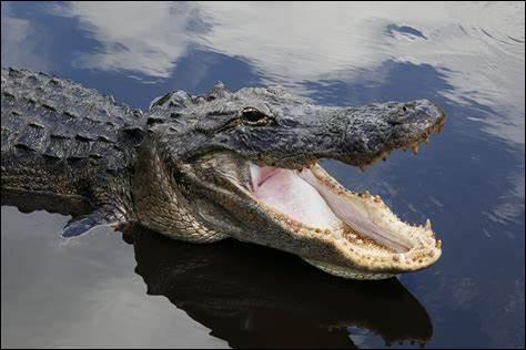 C'est un alligator.