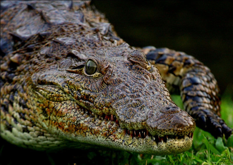 C'est un crocodile.
