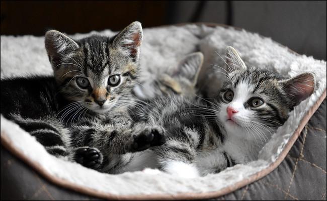 Combien compte-t-on de chatons dans une portée ?
