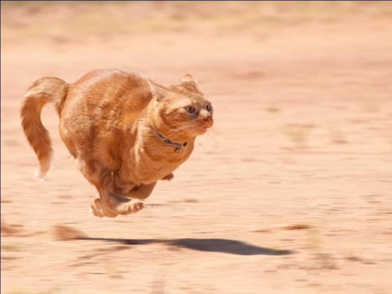 Quel est le record de vitesse d'un chat ?