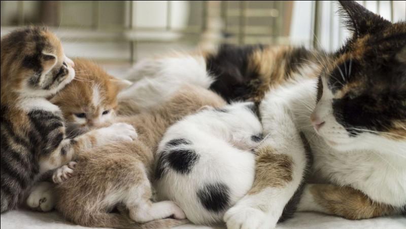 Durant combien de temps le chaton doit-il rester auprès de sa mère avant d'être adopté ?