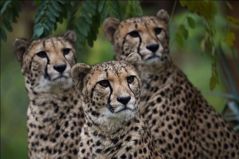 Le guépard est-il canidé ou félin ?