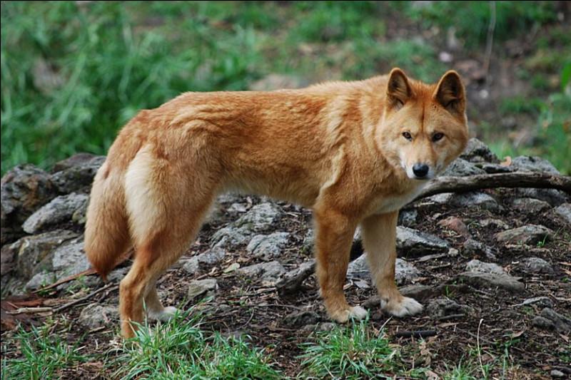 Le dingo est-il canidé ou félin ?
