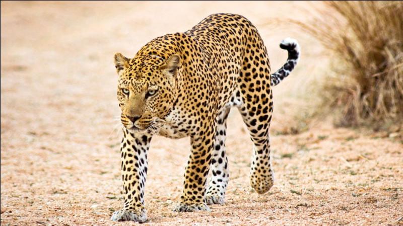 Le léopard est-il canidé ou félin ?